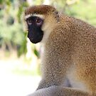 Vervet monkey, Uganda, Africa by Hannah Nicholas
