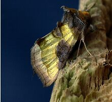 burnished brass moth. by Anthony Lee