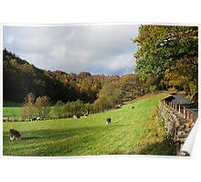 Herdwick sheep grazing near Yew Tree Farm  Poster