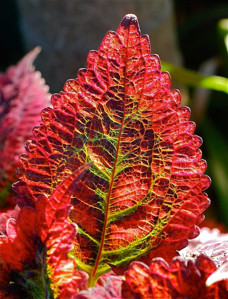 Coleus Leaf by Penny Smith