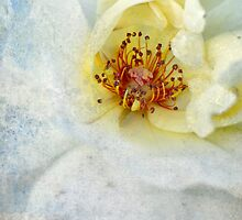 A Mottled Rose by Spitze