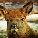 The Yearling Elk, nature photo by Donna Ridgway by Donna Ridgway