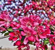 Crab-apple Blossoms by bannercgtl10
