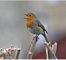 Singing Robin Photographic Print
