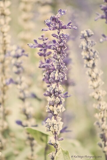 Lavender Memory by KatMagic Photography