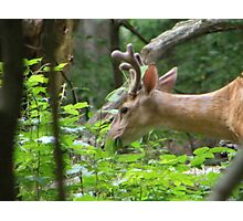 buck grazing Photographic Print