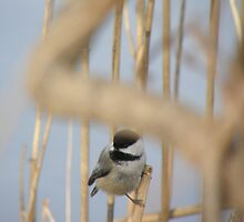 black cap chickadee by tuftedtitmouse2
