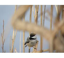 black cap chickadee Photographic Print