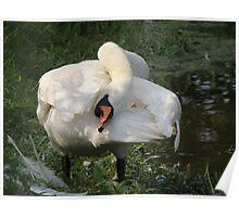 mute swan yoga Poster