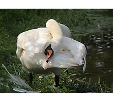 mute swan yoga Photographic Print