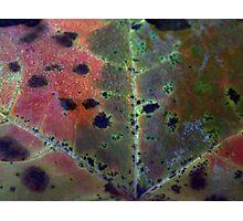 Predator Leaf (0824) Photographic Print