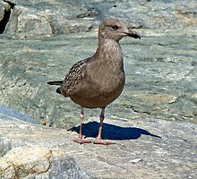 Juvenile Great Black-Backed Gull - Larus marinus by MotherNature