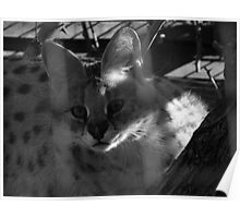 Serval or Caracal Serval Poster
