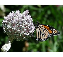 Monarch butterfly on flower head Photographic Print