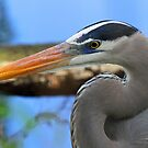 Great blue heron up close(without fish)! by jozi1