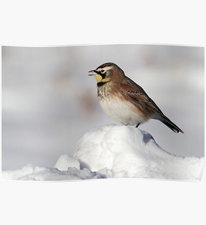 Winter Songbird / Horned Lark Poster