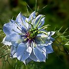 Nigella in January by Celeste Mookherjee