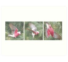 Three Galahs up the trees in our back yard Art Print
