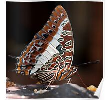 Charaxes brutus natalensis - White Barred Emperor Poster