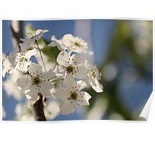 Spring Pear Blossum Poster