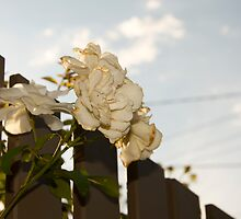 White Roses of Suburbia by lulu64