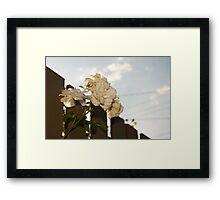 White Roses of Suburbia Framed Print