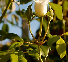 Rose Bud of Suburbia by lulu64
