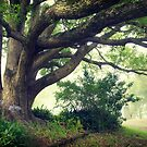 Camphor laurel tree, Yarramalong School by ozzzywoman