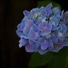 Simply Hydrangea by Lorraine Creagh