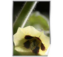 Gooseberry blossom - Gauteng Poster