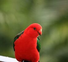 King Parrot ( Male ) by Kim Roper