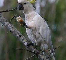 Sulphur Crested Cockatoo by Kim Roper