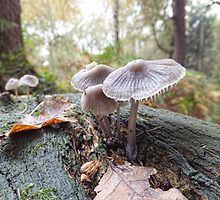Open Bell Cap Fungi by Ray Clarke