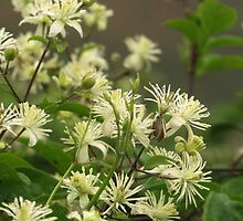 Wild clematis by redown