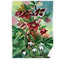 Red Hellebores and Snowdrops Poster