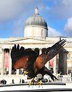 South American Hawk by Jasna