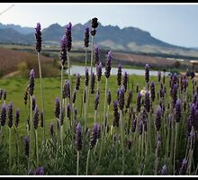 Love the smell of Lavender by suzUnLtd