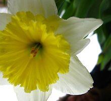Daffodil horn by MarianBendeth