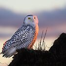 Snowy Sunset / Snowy Owl by Gary Fairhead