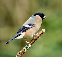Female Bullfinch by Russell Couch