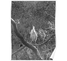 White-faced Heron, Chambers Gully, Adelaide Poster