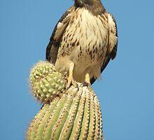 Red-tailed Hawk ~ Saguaro Sitting by Kimberly Chadwick