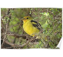 Western Tanager ~ Non-breeding Male Poster