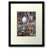 Banded Garden Spider  (Argiope trifasciata) Framed Print