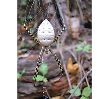 Banded Garden Spider  (Argiope trifasciata) Photographic Print