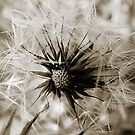 Sepia Dandelion by Maddy Storm