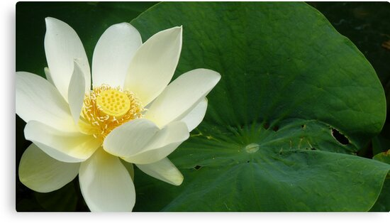 Waterlilly by Jeanette Varcoe.