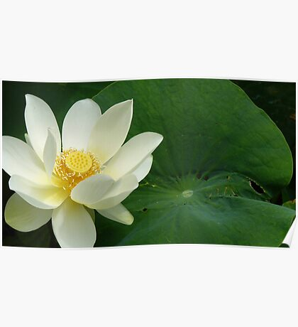 Waterlilly Poster