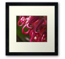Candy Pink Grevillea Framed Print