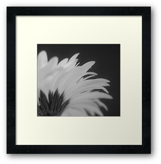 Gerbera in Black and White by Liz Worth